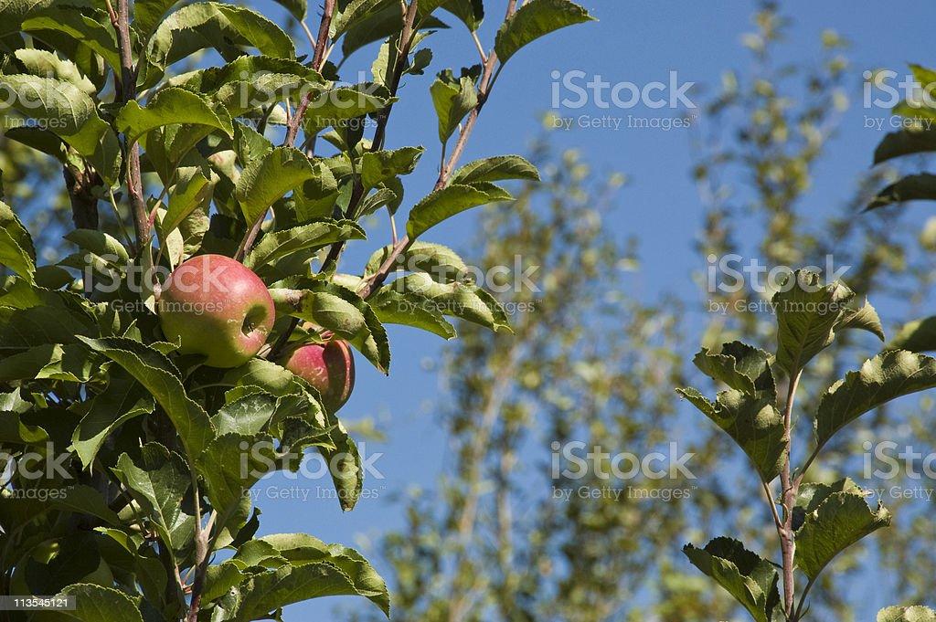 Sunripe apples royalty-free stock photo