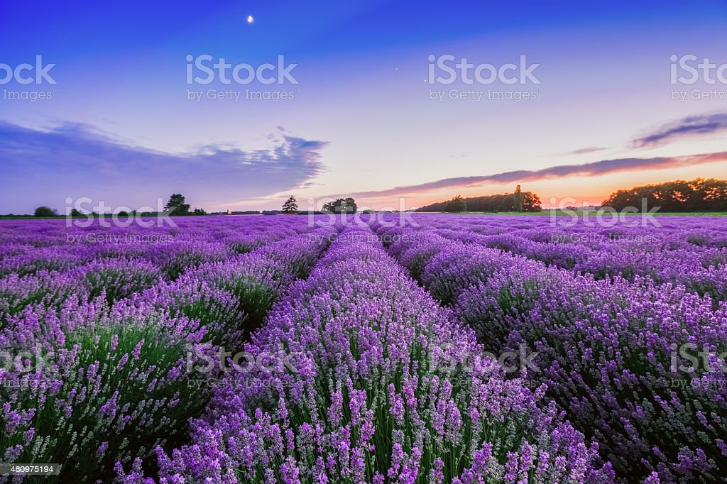 Sunrise and dramatic clouds over Lavender Field stock photo