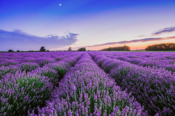 Sunrise and dramatic clouds over Lavender Field Sunrise and dramatic clouds over Lavender Field provence alpes cote d'azur stock pictures, royalty-free photos & images