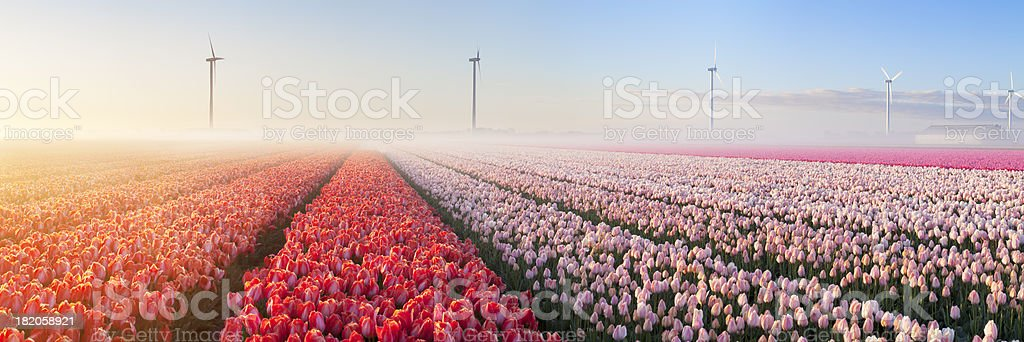 Sunrise and fog over rows of blooming tulips, The Netherlands​​​ foto