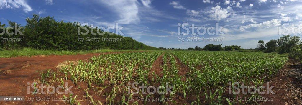 Sunrise at corn plantation field skyline panoramic royalty-free stock photo