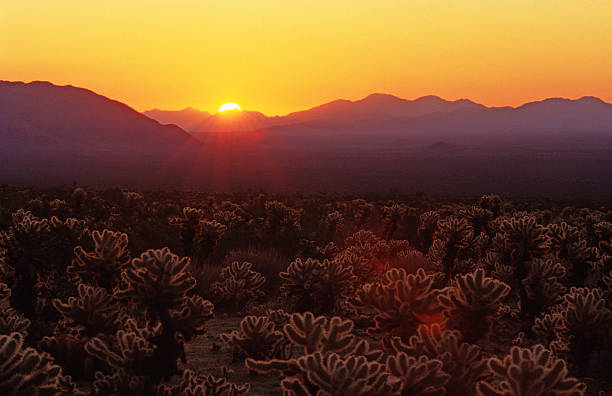 Sunrise at Joshua Tree National Park Sunrise illumination highlights the shapes of the cholla cactus at Joshua Tree National Park san bernardino california stock pictures, royalty-free photos & images