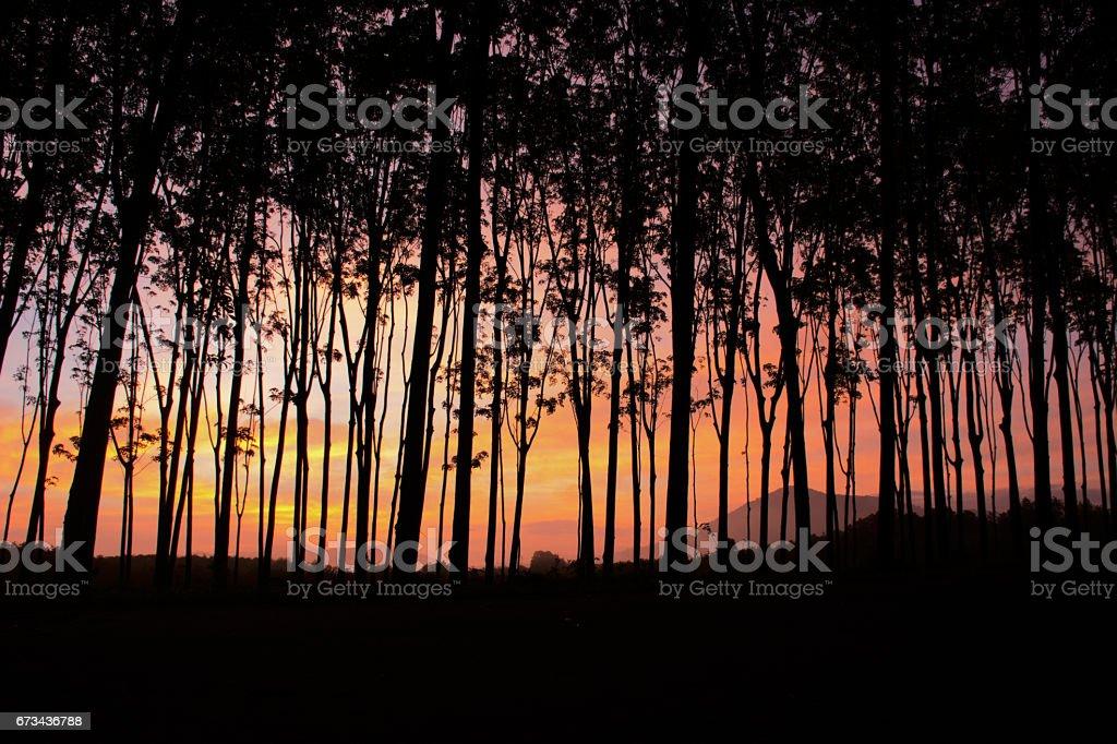 Sunrise at rubber garden - foto de acervo