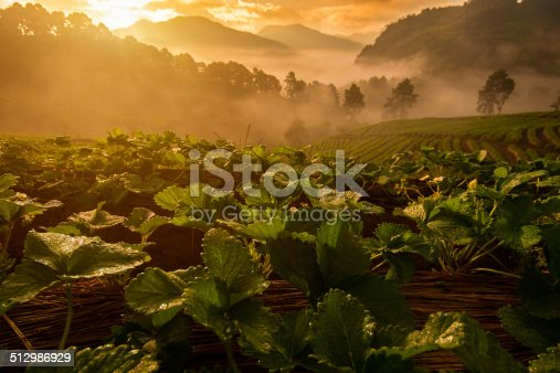 istock Sunrise at Strawberry farm 512986929