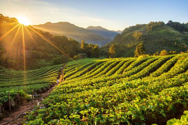 Sunrise at strawberry field terrace at doi angkang , chiang mai , Thailand. Sunrise at strawberry field terrace at doi angkang , chiang mai , Thailand. strawberry field stock pictures, royalty-free photos & images