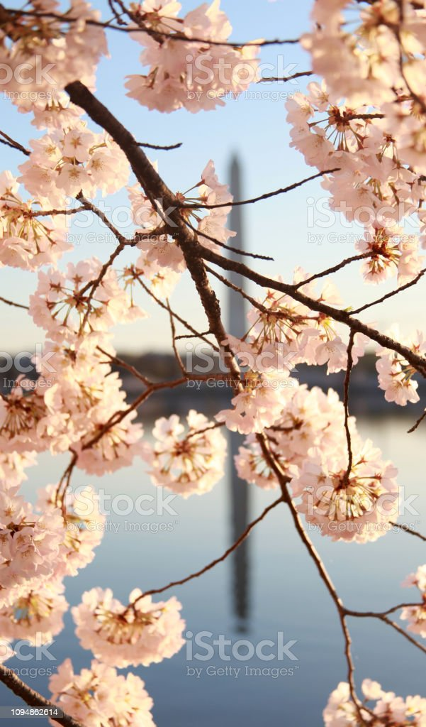Sunrise at the Tidal Basin in Spring with Cherry Blossoms stock photo