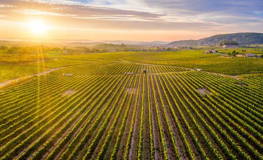 aerial view of vineyards with a Mechanical harvester of grapes in the vineyard and tractors at sunrise in Penedes region, Catalonia, Spain