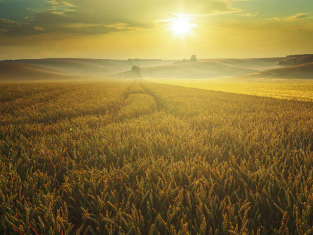 Sunrise at the wheat field stock photo