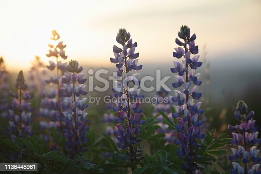 California superbloom.  Lupine flowers at sunrise.