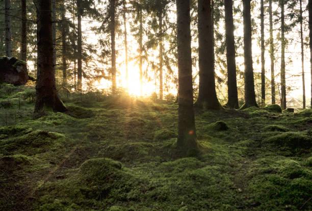 soluppgång mellan trädstammar i skogen bildbanksfoto
