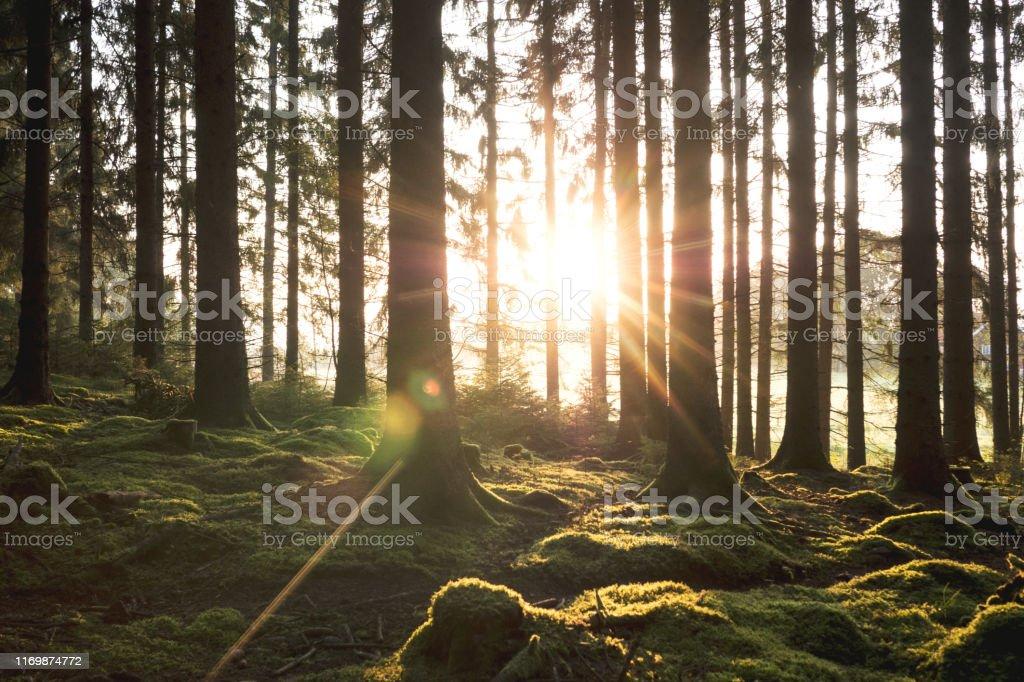 soluppgång mellan trädstammar i skogen - Royaltyfri Buske Bildbanksbilder