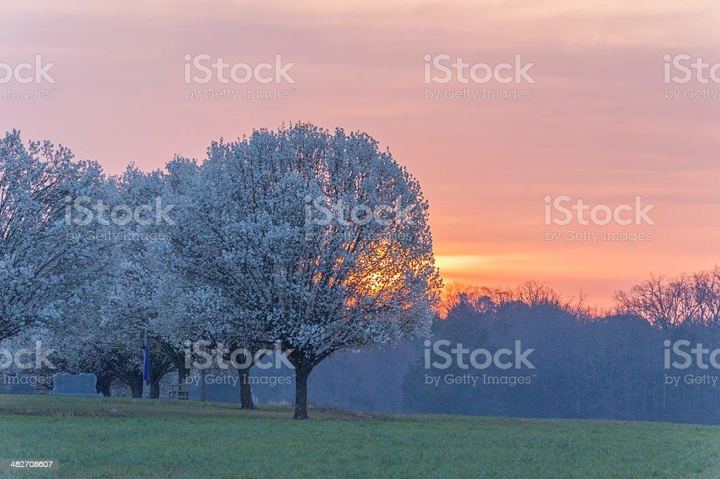 Sunrise Bradford Pear stock photo