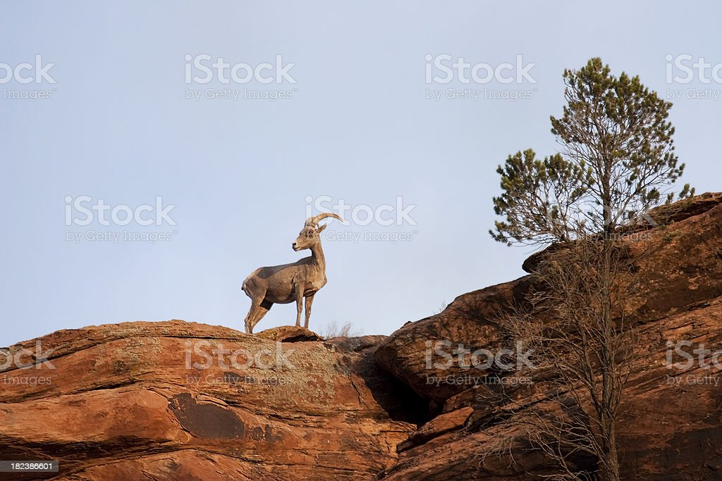 Sunrise desert bighorn in Gunnison River canyon, Colorado royalty-free stock photo