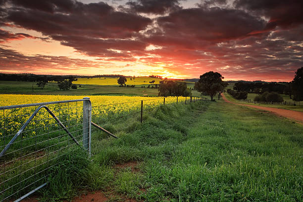 Sunrise farmlands Australia Sunrise on the farm in country NSW  Red skies, yellow canola and lush green dew covered grass. The landscape is alive with vivid colours during spring in the Central West NSW Australia canola stock pictures, royalty-free photos & images