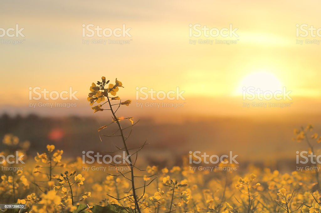 Sunrise Golden Canola - foto de stock
