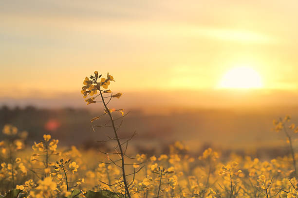 sunrise golden canola - morning stock pictures, royalty-free photos & images