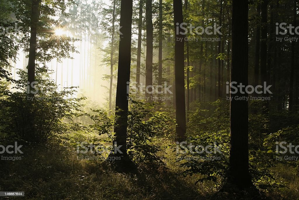 Sunrise in a misty forest royalty-free stock photo