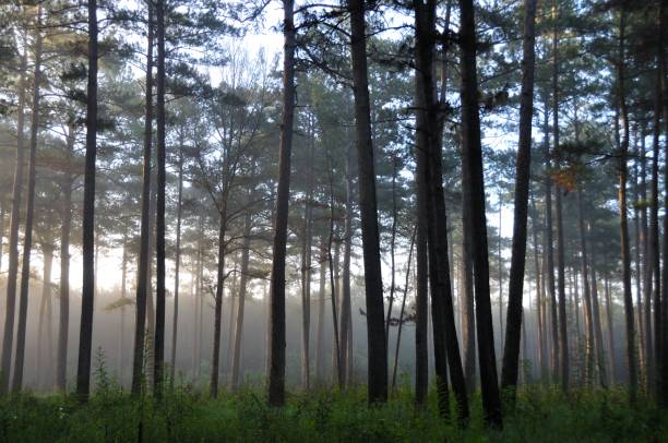 Sunrise in a Pine Forest Misty morning in a pine forest of Mississippi national forest stock pictures, royalty-free photos & images