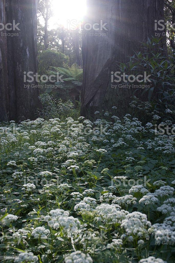 Sunrise in a Temperate Rainforest stock photo
