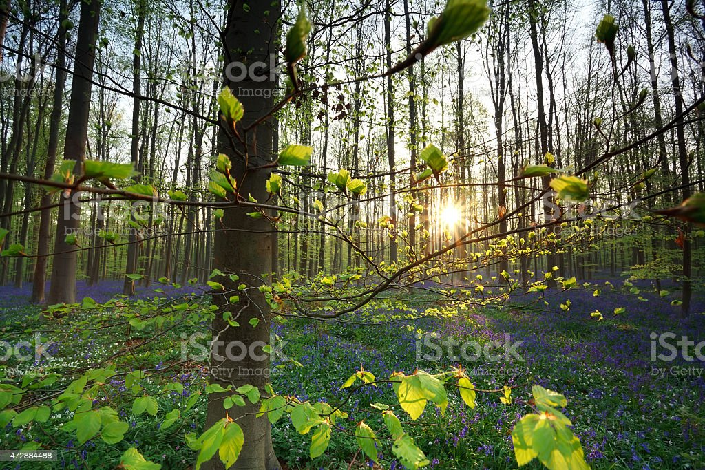 sunrise in forest with bluebells stock photo