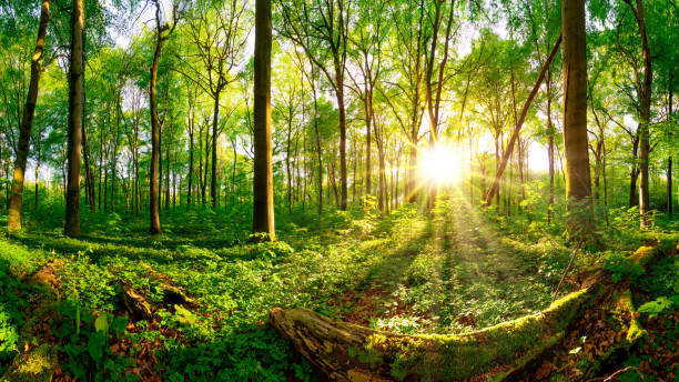 Sunrise in the forest Beautiful forest panorama with bright sun shining through the trees glade stock pictures, royalty-free photos & images