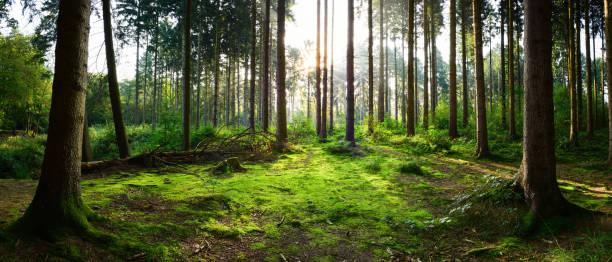 Sonnenaufgang im Wald – Foto