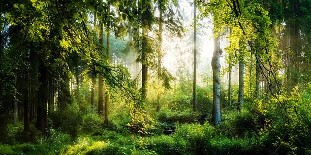 sonnenaufgang im wald - deutsche bäume stock-fotos und bilder