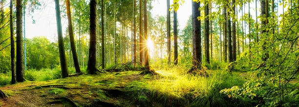 Sunrise in the forest Forest panorama with sun glade stock pictures, royalty-free photos & images