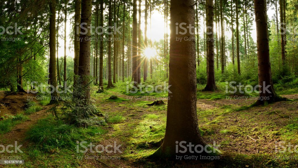Sunrise in the forest royalty-free stock photo