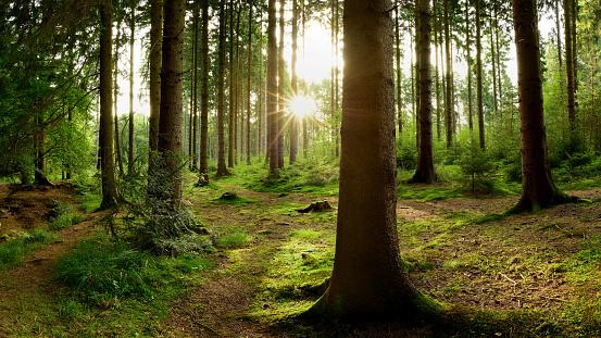 在森林裡的日出 照片檔及更多 光 照片