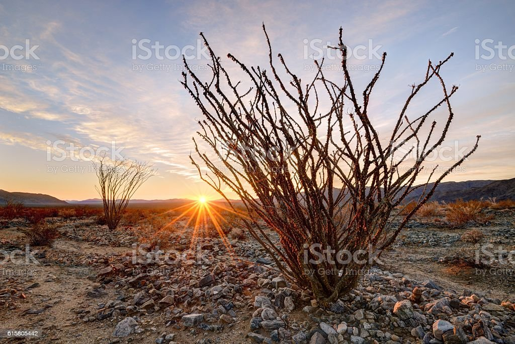 Sunrise in the Ocotillo Garden stock photo