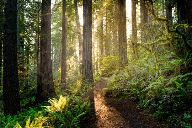 sunrise in the redwoods - forest imagens e fotografias de stock