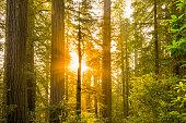 Redwood national park at sunrise