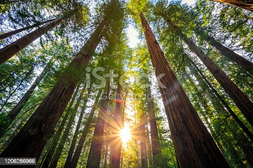 Sunrise in the the Redwoods at Redwoods National and State Parks California