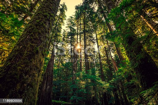 Sunrise in the Tall Trees. Olympic National Forest in Olympic National Park