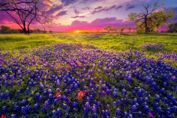 sunrise in the texas hill country - bluebonnet stock photos and pictures