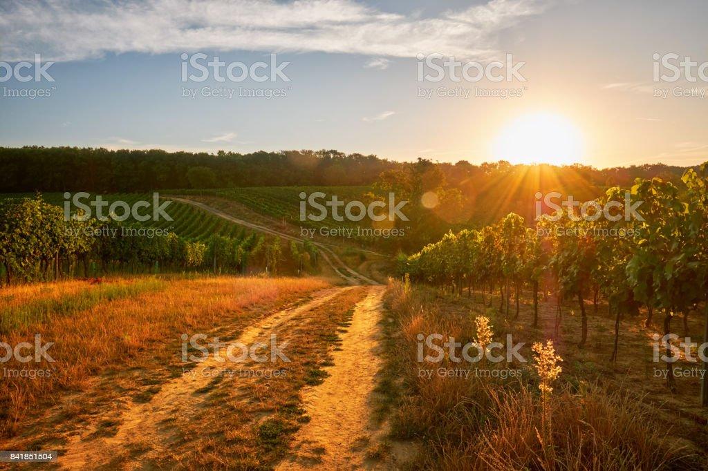 Sunrise in vineyard stock photo