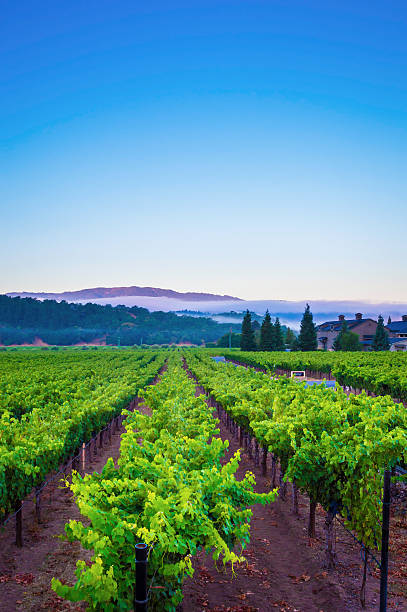 Sunrise in Yountville, Napa Valley, CA Vineyards in Yountville area in the Napa Valley, CA in the summer sonoma stock pictures, royalty-free photos & images
