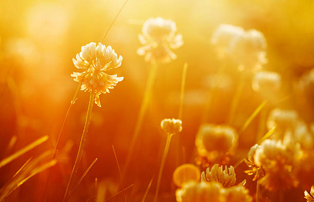 sunrise meadow Wildblumen – Foto