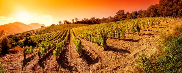 sunrise on a hillside vineyard in sardinia - sardegna foto e immagini stock