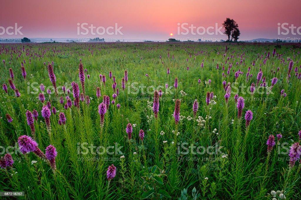 Sunrise on Gayfeather, Presson-Oglesby Prairie stock photo