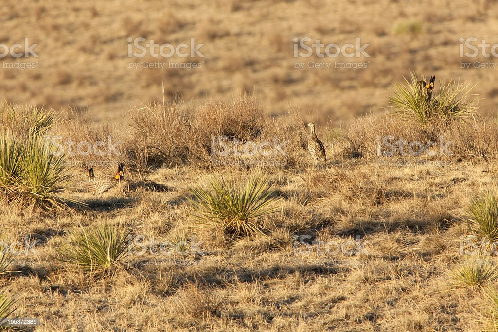 Sunrise on greater prairie chickens and lek northeast Colorado stock photo
