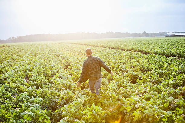 sunrise on the farm, man working thru crop field - organic farm stock photos and pictures