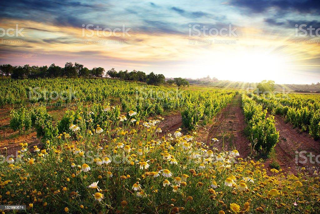 Sunrise on the vineyard and daisy flowers stock photo