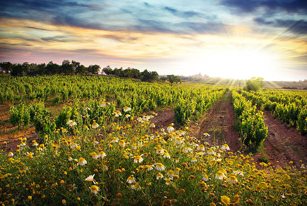 Sunrise on the vineyard and daisy flowers stock photo