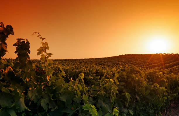 lever du soleil sur le vignoble en Corse - Photo