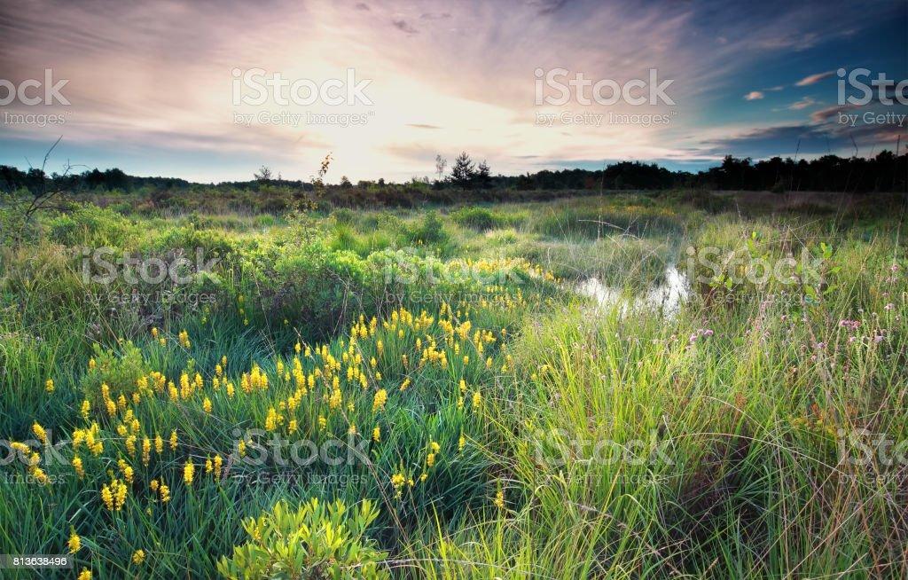 sunrise on wild swamp with bog asphodel bloom in summer stock photo