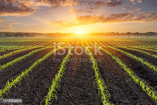 Sunrise over a field of young corn. Natural background for design on the theme of the agricultural industry