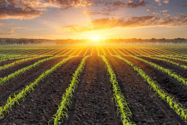 옥수수 밭 위에 일출 - 배경 - 농업 뉴스 사진 이미지