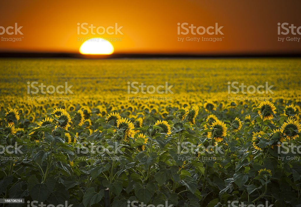 Sunrise over a field of sunflowers. royalty-free stock photo